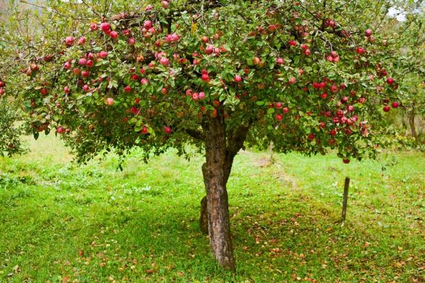 Zmalał rosyjski import jabłek