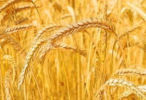 Ceny pszenicy na południu wzrosły bardziej niż na wschodzie