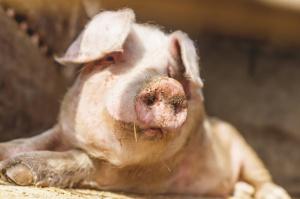 Możliwy jest dalszy spadek pogłowia świń