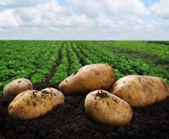 Plony ziemniaków niższe o 9 proc.