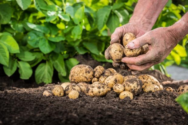 Zbiory ziemniaków niższe o 1 mln ton
