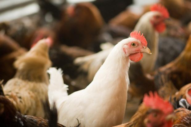 Spór o antybiotyki w produkcji drobiu