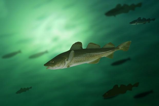 Dorsz bałtycki bez certyfikatu zrównoważonego rybołówstwa