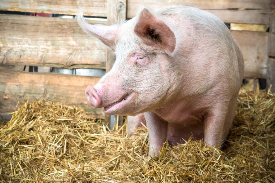 Po nowym roku dopłaty do prywatnego przechowywania wieprzowiny