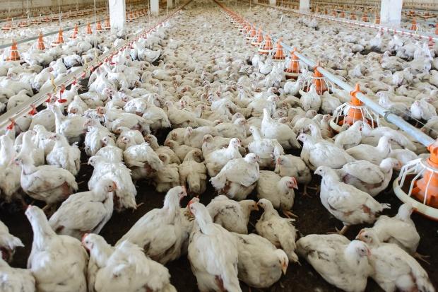 Francja: rośnie liczba zakażeń ptasią grypą