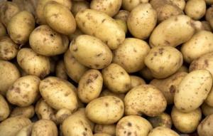 GUS: Zbiory ziemniaków spadły w 2015 r. o ok. 18 proc.
