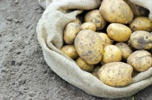 Tegoroczne zbiory ziemiopłodów rolnych i ogrodniczych wyraźnie poniżej poziomów z 2014 r.