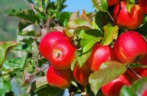 Zbiory owoców z drzew spadły w tym roku o 2 proc.
