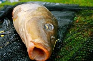 Karp wciąż króluje wśród ryb na wigilijnym stole
