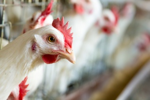 Bezprecedensowy stan związany z ptasią grypą we Francji