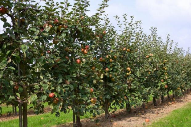 W Polsce stwierdzono obecność groźnego szkodnika upraw sadowniczych