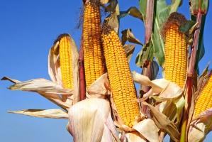 MATIF: kukurydza znowu dołuje