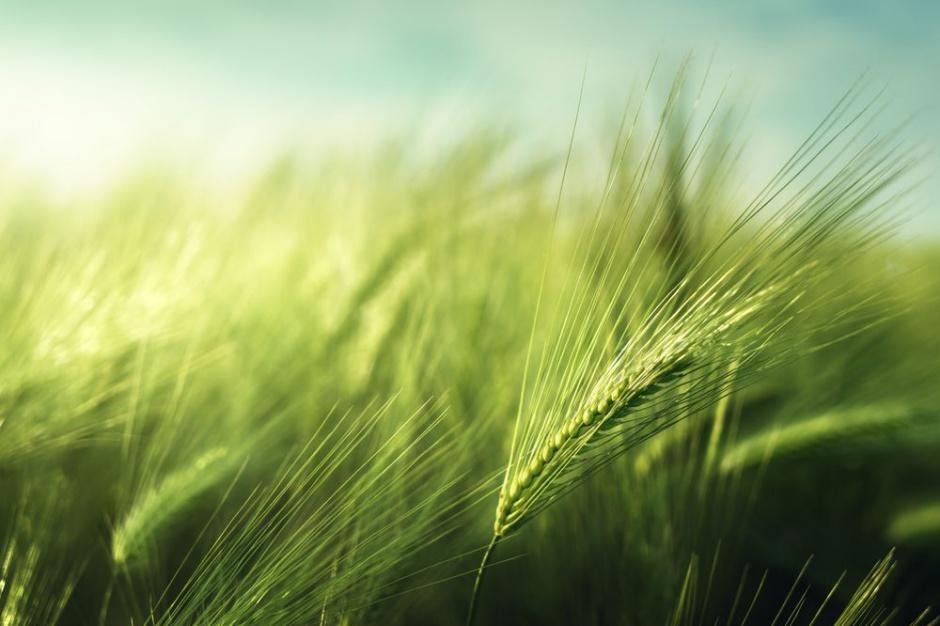 Wzrośnie areał upraw jęczmienia w UE