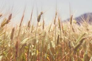 Wzrost cen zbóż na Matif