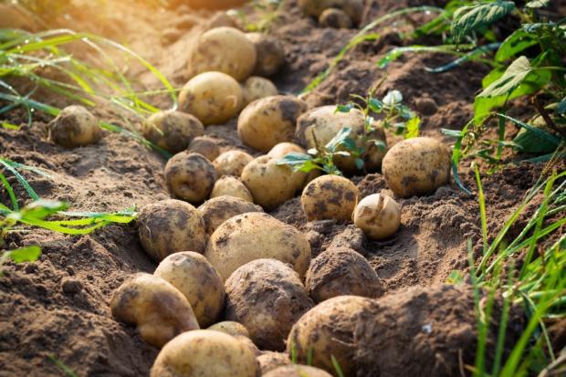 Przebudowa strukturalna branży ziemniaczanej