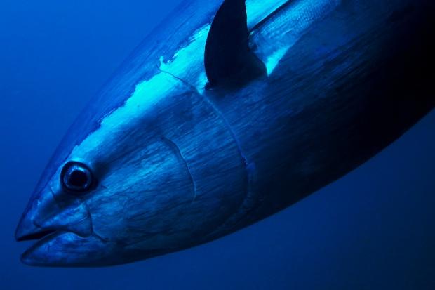 Rekordowy tuńczyk sprzedany w Tokio za ponad 100 tys. dolarów