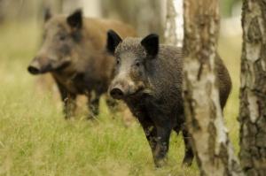 PiS zapowiada wycofanie projektu Prawa łowieckiego