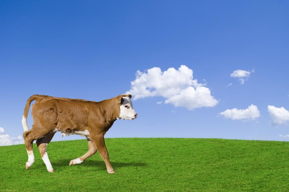 Import mięsa oraz żywca wołowego niższy o 3,9 proc.