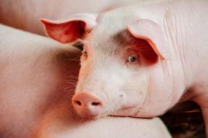 QAFP - szansa na zbudowanie marki dobrej, polskiej wieprzowiny
