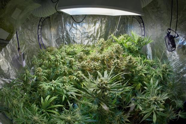 W Lublinie uprawiano marihuanę w mieszkaniu