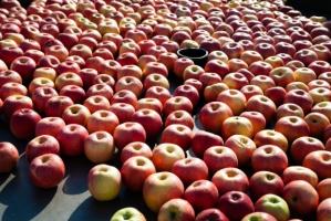 Eksport polskich jabłek do USA już w 2016 r.?