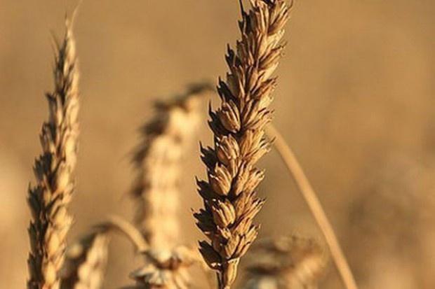 ARR: Spada cena pszenicy, żyta i kukurydzy