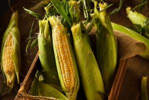 Mniejsza produkcja kukurydzy powoduje obniżenie światowych prognoz