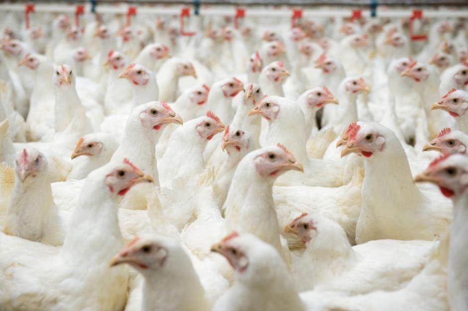 Eksport mięsa drobiowego wzrósł o 14,6 proc.