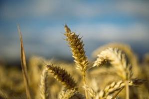 Prognozowany lekki spadek zbiorów pszenicy z sezonie 2016/17