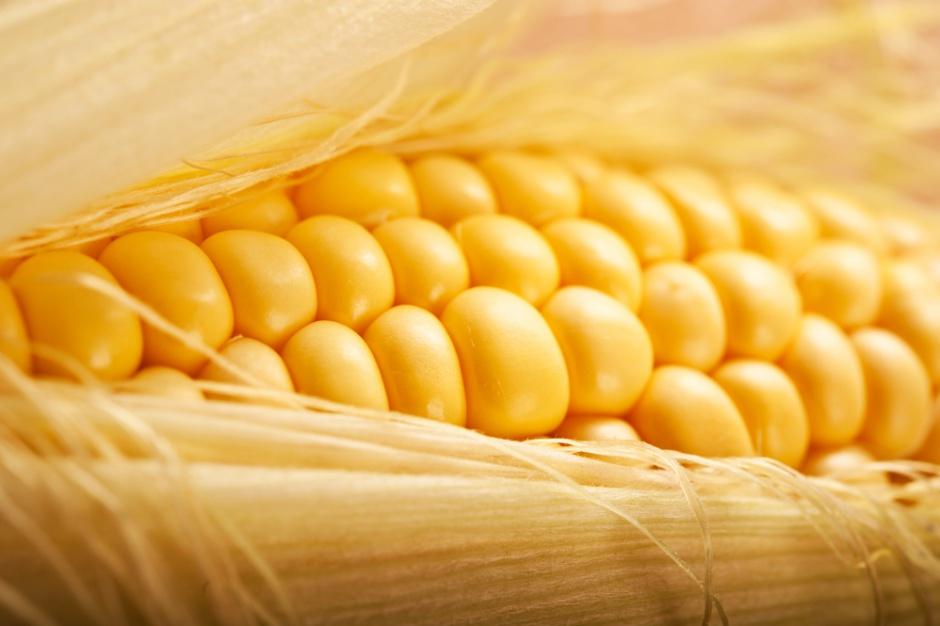Kukurydza odporna na suszę