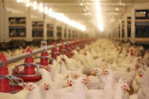 Francja przegrywa walkę o subsydia do produkcji drobiu