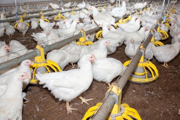 Francja: Nowa strategia zwalczania ptasiej grypy
