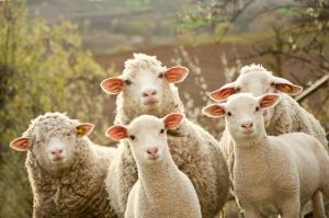 Choroba niebieskiego języka uderza w Gruzji. Ponad 2 tys. zagrożonych owiec
