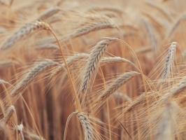 Rok 2016 będzie trudny dla francuskiej pszenicy