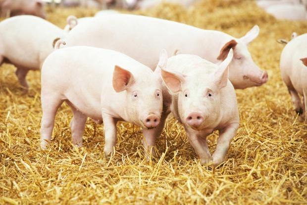 Rabobank: niepokojące prognozy dla rynku wieprzowiny