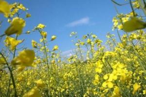 Ukraina: Mrozy wpłyną na mniejsze zbiory rzepaku?