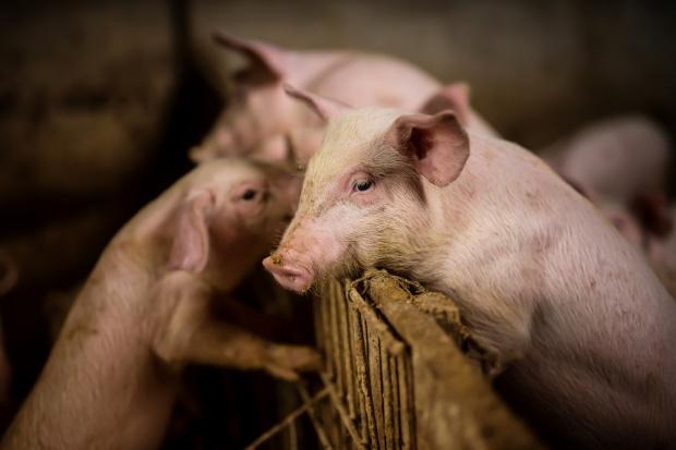 Problemy sektora wieprzowiny. Pogłowie świń w Polsce najniższe od 60 lat