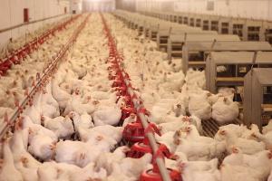 USA, Kanada i Meksyk wspólnie przeciwko ptasiej grypie