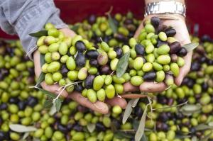 Włochy: Skandal z fałszowaniem oliwy i sztucznym barwieniem oliwek