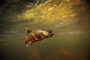 Dolnośląscy wędkarze wpuszczą do rzek 800 tys. pstrągów