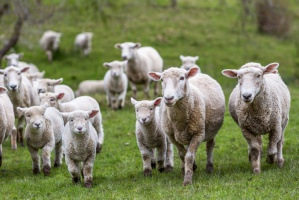 Rośnie import mięsa owczego i koziego do Unii Europejskiej