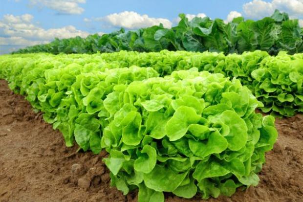 W Japonii roboty będą produkować sałatę
