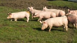 ARR: Niskie ceny żywca przyczyniły się do spadku pogłowia świń do 10,6 mln sztuk
