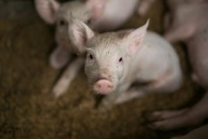 Chiny: RoÅ›nie import wieprzowiny