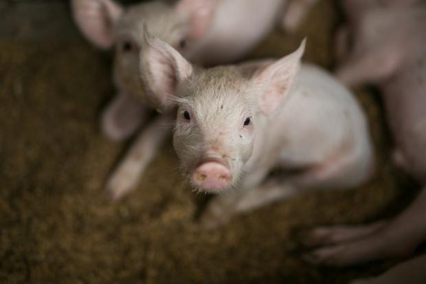 Chiny: Rośnie import wieprzowiny
