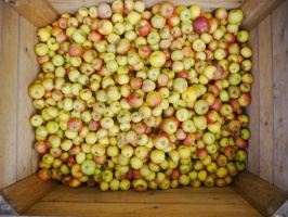 Rekordowe zapasy jabłek w Polsce