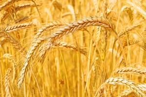 Spada eksport pszenicy za pośrednictwem portów morskich