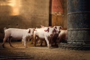 Wiceminister rolnictwa rozmawiał w Japonii nt. polskiej wieprzowiny