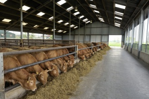 W Stanach Zjednoczonych rośnie pogłowie bydła