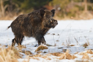 Dziki - problem wciąż nierozwiązany ?